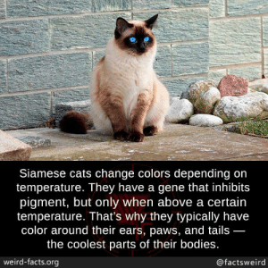 gene: Siamese cats change colors depending on  temperature. They have a gene that inhibits  pigment, but only when above a certain  temperature. That's why they typically have  color around their ears, paws, and tails  the coolest parts of their bodies.  weird-facts.org  @factsweird
