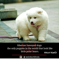 Dogs, Memes, and Puppies: Siberian Samoyed dogs:  the only puppies in the world that look like  little polar bears  Weird World  (a weirdworldinsta