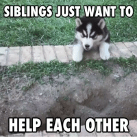 Climbing, Memes, and Puppies: SIBLINGS JUST WANT TO  HELP EACH OTHER Husky puppies trying to climb a wall is awesome! 😂😂 (@mywinterfells.siberian_huskies)