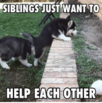 Climbing, Dank, and Puppies: SIBLINGS JUST WANT TO  HELP EACH OTHER Husky puppies trying to climb a wall is awesome! 😂😂  Credit: MyWinterfell's Siberian Huskies