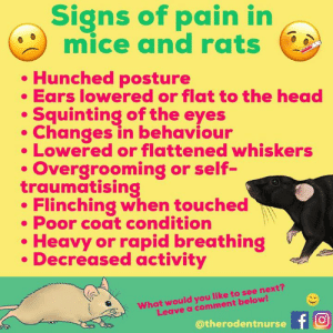 Head, Memes, and Pets: Signs of pain in  mice and rats  Hunched posture  Ears lowered or flat to the head  Squinting of the eyes  Changes in behaviour  Lowered or flattened whiskers  Overgrooming or self-  traumatising  Flinching when touched  Poor coat condition  Heavy or rapid breathing  Decreased activity  What would you like to see next?  Leave a comment below!  @therodentnurse T Signs of pain, stress and illness can be very subtle in our small pets! Therefore, we have to be extra vigilant and observe for the smallest changes in body language and behaviour.  Check out https://www.nc3rs.org.uk/grimacescales as they provide free posters of rat and mouse grimace scales! These help us pain score our patients, providing more consistency and accuracy in assessments. There is a rabbit one, too! 🐭🐰🧡  #veterinarynurse #veterinary #painscoring
