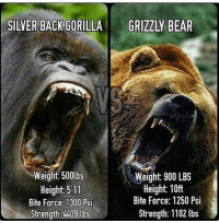 Memes, Bear, and Silver: SILVER BACK GORILLA  GRIZZLY BEAR  Weight 500lbs  Weight: 900 LBS  Height: 10ft  Height: 511  Bite Force: 1250 Psi  Bite Force: 1300 Psi  Strength: 1102 lbs  Strength 409 lbs Place your bets