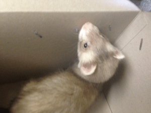 Love, Omg, and Prince: silverfangs:i got a ferret!! his name is aspen and i love him. he's only about 2 months old but he is my prince i love him omg