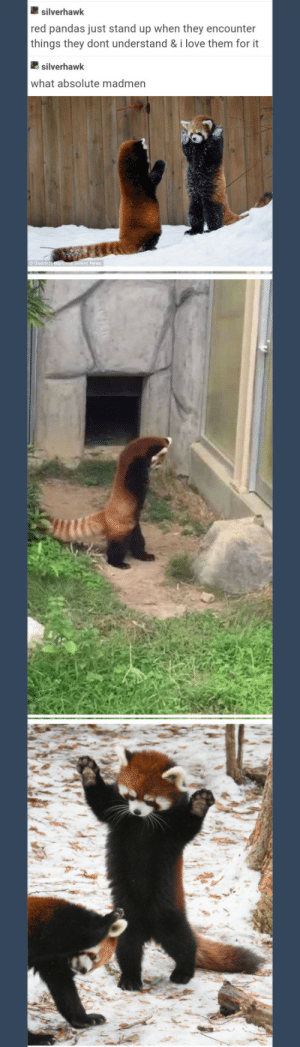 red pandas: silverhawk  red pandas just stand up when they encounter  things they dont understand & i love them for it  silverhawk  what absolute madmen red pandas