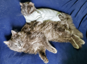 Simba comforting his little brother, Prince, after he got shot and has to wear a onesie to recover. He's letting his little brother be the Big Spoon <3: Simba comforting his little brother, Prince, after he got shot and has to wear a onesie to recover. He's letting his little brother be the Big Spoon <3