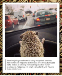 Driving, Memes, and Traffic: Since hedgehogs are known for being very patient creatures,  their humans will frequently let them take over driving during bad  traffic. Instead of suffering from road rage like their human  counterparts, hedgehogs will simply wait patiently until they are  finally able to move. I've Noticed This Is Happening More And More Often