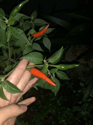 Since it's Winter for most of you right now, I'd like to present to you all homegrown chilli cuz no one else is gonna have anything. I live in Australia btw.: Since it's Winter for most of you right now, I'd like to present to you all homegrown chilli cuz no one else is gonna have anything. I live in Australia btw.