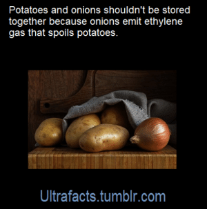 sindri42:  roach-works:  ultrafacts:  Source: [x] Click HERE for more facts!  I WAS **TODAY** YEARS OLD  Onions go in the fridge, potatoes go in the cupboard, both stay good for a long time and have an obvious corpse-y smell when they aren't. : sindri42:  roach-works:  ultrafacts:  Source: [x] Click HERE for more facts!  I WAS **TODAY** YEARS OLD  Onions go in the fridge, potatoes go in the cupboard, both stay good for a long time and have an obvious corpse-y smell when they aren't.