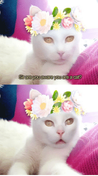 Cats, LOLcats, and Cat: Sirare you aware you are a cat? Excuse me sir...