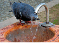 Tumblr, Blog, and Http: sittinginsatanslap:  disgustinganimals: pigeonaday:   Pigeon 215  Cleanse yourself of your sins.  what did he do?