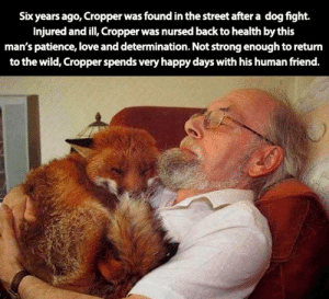 Little fox friend: Six years ago, Cropper was found in the street after a dog fight.  Injured and ill, Cropper was nursed back to health by this  man's patience, love and determination. Not strong enough to return  to the wild, Cropper spends very happy days with his human friend. Little fox friend