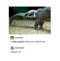 i support them: Sixpenceee  A baby pangolin riding on its mother's tail  manimepark.  Alligator cat i support them