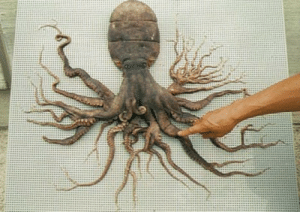 sixpenceee:   In 1998, an Octopus with 98 tentacles was discovered in Japan (near Matoya Bay).                              : sixpenceee:   In 1998, an Octopus with 98 tentacles was discovered in Japan (near Matoya Bay).