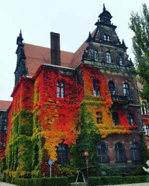 sixpenceee: Incredibly couloured ivy on  National Museum in Wroclaw, Poland taken by  Anna Kowalów.: sixpenceee: Incredibly couloured ivy on  National Museum in Wroclaw, Poland taken by  Anna Kowalów.