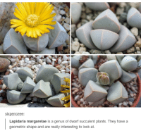Sixpenceeee: SIXpenceee:  Lapidaria margaretae is a us of dwarf succulent plants. They have a  geometric shape and are really interesting to look at