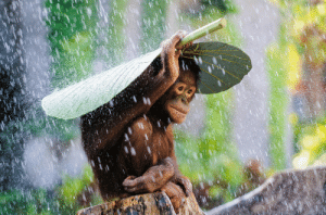 Head, Taken, and Target: sixpenceee:  Orangutan takes a banana leaf and puts it on top of his head to protect himself from the rain. Taken by photographerAndrew Suryono in Bali, Indonesia.