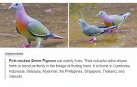 Indonesia, Malaysia, and Philippines: SIXpenceee:  Pink-necked Green Pigeons eat mainly fruits. Their colourful attire allows  them to blend perfectly in the foliage of fruiting trees. It is found in Cambodia,  Indonesia, Malaysia, Myanmar, the Philippines, Singapore, Thailand, and  Vietnam https://t.co/otSKjsOmqP