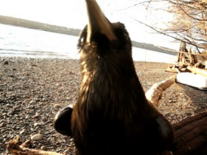 "sixpenceee: sixpenceee:  nightmaresaround:  Sixpenceee, have you seen this video of a raven talking? It says ""good boy"" or ""hey boy"".   Oh my god, it does! Someone get a raven to say ""nevermore"".   Just found out, that that's been done already, look at this video : sixpenceee: sixpenceee:  nightmaresaround:  Sixpenceee, have you seen this video of a raven talking? It says ""good boy"" or ""hey boy"".   Oh my god, it does! Someone get a raven to say ""nevermore"".   Just found out, that that's been done already, look at this video"