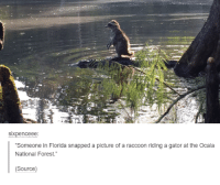 """Sixpenceeee: SIXpenceee  Someone in Florida snapped a picture of a raccoon riding a gator at the Ocala  National Forest.""""  (Source)"""