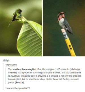 Smallest birdomg-humor.tumblr.com: sixpenceee:  The smallest hummingbird, Bee Hummingbird or Zunzuncito (Mellisuga  helenae), is a species of hummingbird that is endemic to Cuba and Isla de  la Juventud. Wikipedia says it grows to 5-6 cm and is not only the smallest  hummingbird, but its also the smallest bird in the world. So tiny, cute and  pretty! (Source)  How are they possible? Smallest birdomg-humor.tumblr.com