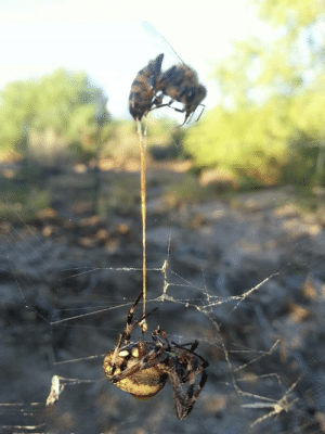 Reddit, Spider, and Tumblr: sixpenceee:  The spider catches the bee and the bee stings the spider. Both are dead, with the bee's stinger still in the spider.  This is a great example showing why honey bees die after stinging something only once. Their stinger/venom sac are attached to other organs inside the bee, so when the stinger's barbs lodge into something, everything gets pulled out, potentially including gut, etc and leaving a gaping hole in the bees abdomen. (From Here)