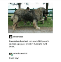 Sixpenceeee  Caucasian shepherd can reach 200 pounds  and are a popular breed in Russia to hunt  bears  adamforrest610  Good boy! GORGEOUS