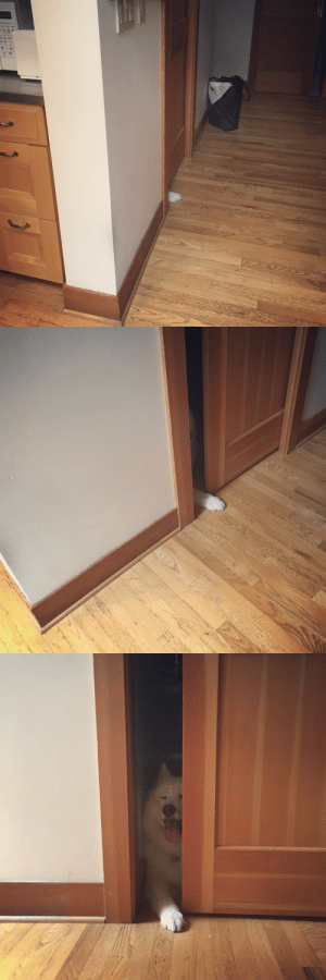 Tumblr, Blog, and Fireworks: skookumthesamoyed:Sweet boy hiding from fireworks in the pantry