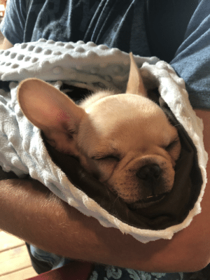 Pup, Burrito, and Lil: Sleepy lil frenchie pup burrito.