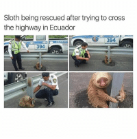 Memes, Best, and Cross: Sloth being rescued after trying to cross  the highway in Ecuador  394  TRANSIT  394  ti  RA Probably the best emergency call they ever answered! 😍