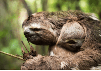 Sloth hugs ARE, in fact, drugs.: Sloth hugs ARE, in fact, drugs.