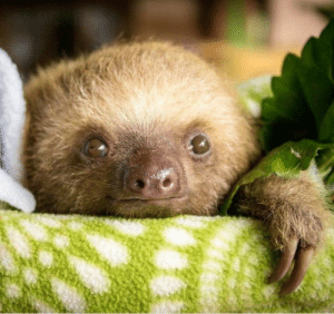 Sloths are the cutest things in the world and no one can change my mind: Sloths are the cutest things in the world and no one can change my mind