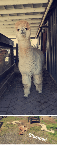 Heat, The Heat, and Slumped: Slumped Warning alpacas melt in the heat+bonus