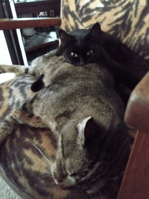 Small cat adopted the big one.: Small cat adopted the big one.