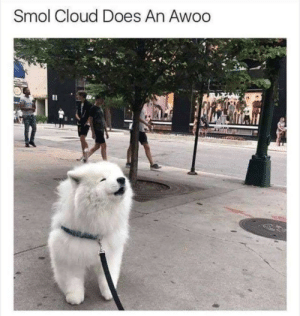 Cloud, Smol, and Awoo: Smol Cloud Does An Awoo Much smolness!
