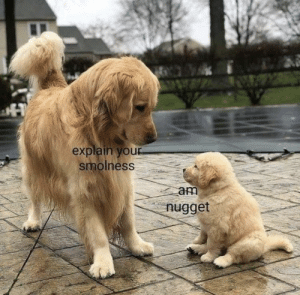 smol pupper by OverBakedParsnip MORE MEMES: smol pupper by OverBakedParsnip MORE MEMES