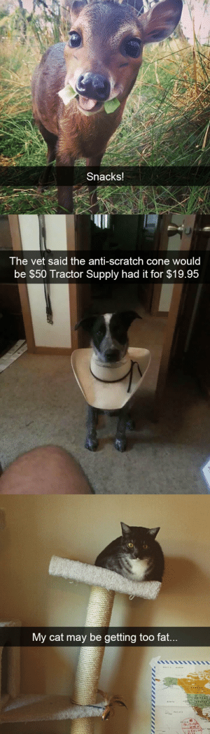 animalsnaps:Animal snaps: Snacks!   The vet said the anti-scratch cone would  be $50 Tractor Supply had it for $19.95   My cat mav be getting too fat animalsnaps:Animal snaps