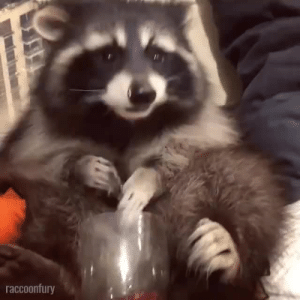 snazziest:  meetmeinchernobylexclusionzone:  plesht: not to be negative but someone really spent all that time and energy cutting open a pomegranate and then gave it to a (cute) raccoon? It's called Love .   It was hades and this is Persephone know your history : snazziest:  meetmeinchernobylexclusionzone:  plesht: not to be negative but someone really spent all that time and energy cutting open a pomegranate and then gave it to a (cute) raccoon? It's called Love .   It was hades and this is Persephone know your history