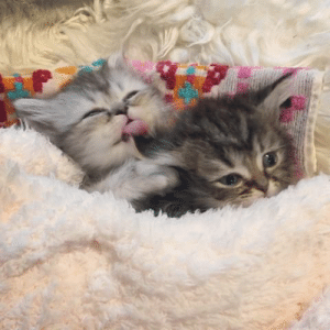snorlax-and-co:  blackhaube: lindsay-irene: Warning: very high levels of cute  @snorlax-and-co  😍 Awww so cute, thank you for tagging us!💜  A kitten could convince me to do anything omg I worship cats hail gato 🐱: snorlax-and-co:  blackhaube: lindsay-irene: Warning: very high levels of cute  @snorlax-and-co  😍 Awww so cute, thank you for tagging us!💜  A kitten could convince me to do anything omg I worship cats hail gato 🐱