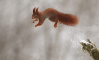 """Snow Ballet"", Red Squirrel (x-post /r/MostBeautiful): ""Snow Ballet"", Red Squirrel (x-post /r/MostBeautiful)"
