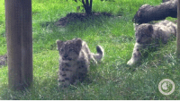 Funny, Cleveland, and Cubs: Snow leopard cubs playing around at Cleveland Zoo Society