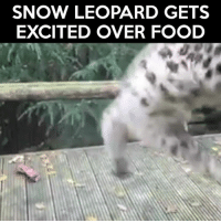 Me when Christmas dinner is ready... Credit: Paradise Wildlife Park: SNOW LEOPARD GETS  EXCITED OVER FOOD Me when Christmas dinner is ready... Credit: Paradise Wildlife Park
