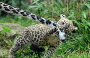 Snow Leopards have very strong legs and are incredible jumpers, that can leap as far as 50 feet. They use their long tails for balance and as a blanket to cover sensitive body parts from severe mountain chills. They also like biting their tails as a from of play.: Snow Leopards have very strong legs and are incredible jumpers, that can leap as far as 50 feet. They use their long tails for balance and as a blanket to cover sensitive body parts from severe mountain chills. They also like biting their tails as a from of play.
