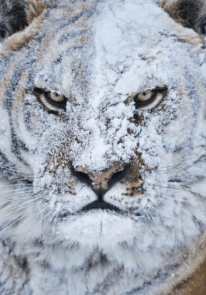 Tiger, Fight, and Snowball Fight: Snowball Fight, Tiger