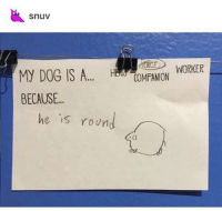 Memes, Tumblr, and Blog: snuv  COMPANION WORKER  BECAUSE..  he is roun  IS positive-memes:  he is a good round boy