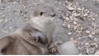 Apparently, Bored, and Cute: So cute. Otters have a little skin pocket under their armpit and keep their favorite rock in there at all times. They use it to break open food and apparently juggle when bored. LOL! #SoPrecious