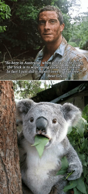 srsfunny:Oh No, Spit It Out!: So here in Australia, when going to the toilet  the trick is to wipe using eucalyptus leaves  In fact Ijust did it myself over by that tree.  Bear Grylls srsfunny:Oh No, Spit It Out!