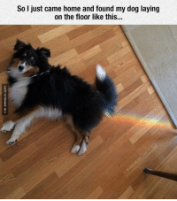Dogs, Lay's, and Memes: So I just came home and found my dog laying  on the floor like this... Nyan Dog Exists
