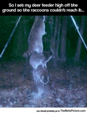 Apparently, Deer, and Tumblr: So l set my deer feeder high off the  ground so the raccoons couldn't reach it...  you should probably go to TheMetaPicture.com srsfunny:Apparently Raccoons Are Ridiculously Smart