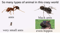 Crazy, Animal, and Black: So many types of animal in this crazy world  ants  black ants  very small ants  even hippoS