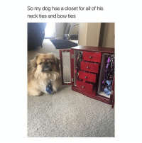Girl Memes, Dog, and Bow: So my dog has a closet for all of his  neck ties and bow ties I wish I had a dog